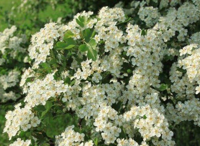 Il fiore di Maggio: il Biancospino.