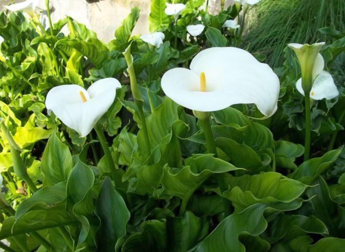 """Sempre fremono questi fiori bianchi"""" ( A. Rimbaud )"""