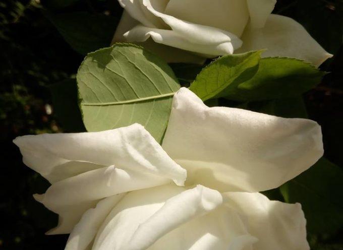 Fiori bianchi di maggio.