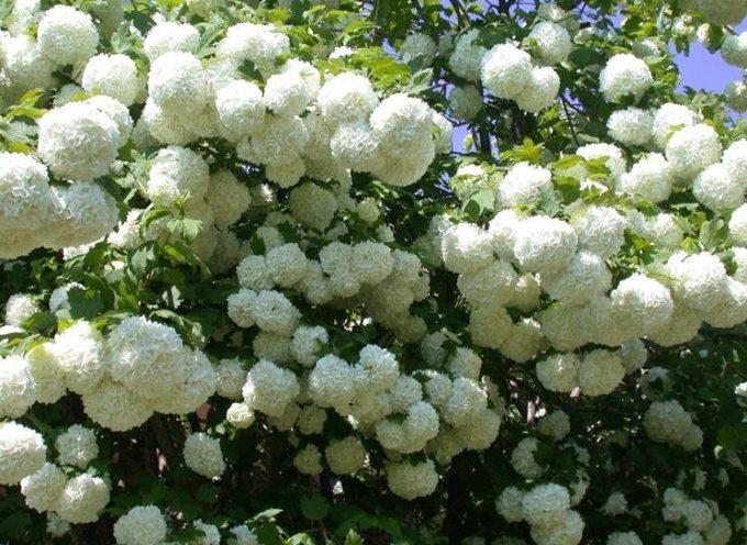 """fiori del mese: il """" pallon di Maggio""""."""