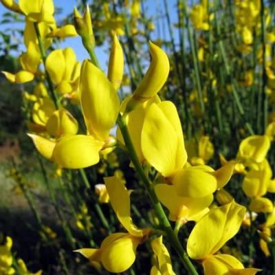 La Ginestra, che fiorisce ora, creando macchie di un giallo dorato