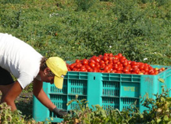 Agricoltura senza voucher. Dalla raccolta dell'ortofrutta alla vendemmia: addio a 50mila posti estivi