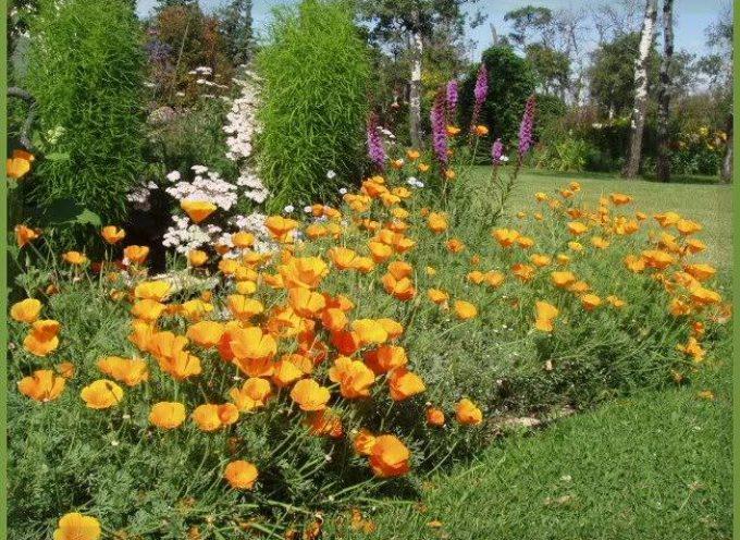 I fiori del sole: i papaveri della California.