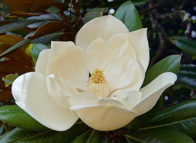 L'albero di magnolia apre le bianche mani.