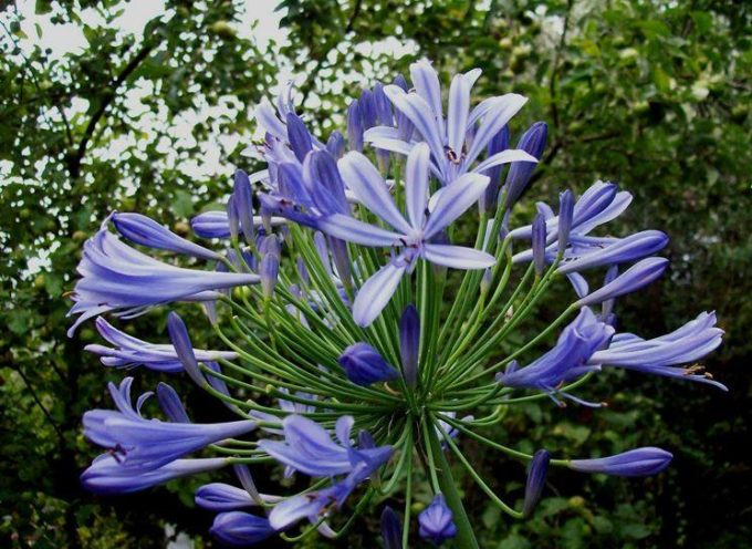 I fiori che vengono da lontano: l'Agapanto.
