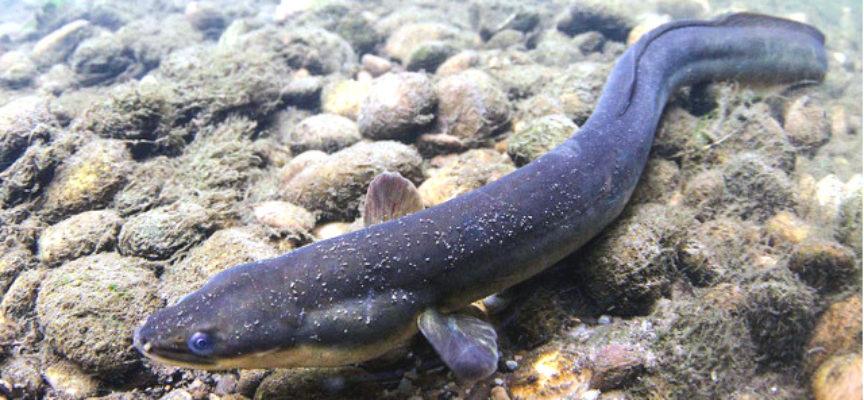 EDITORIALE DELLA DOMENICA  Anche le anguille sono incompatibili con l'uomo!