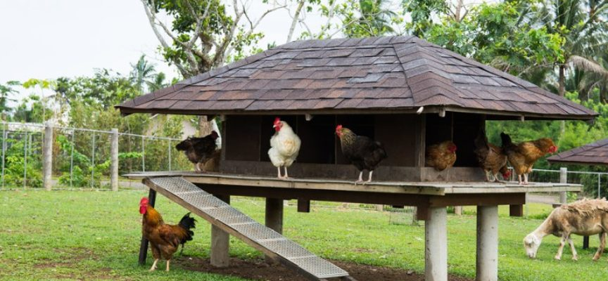 Come costruire un pollaio: i 5 passi per realizzarlo al meglio.