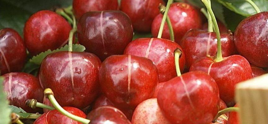 """La """"rigata del Grisanti"""" una nuova ciliegia in Garfagnana"""
