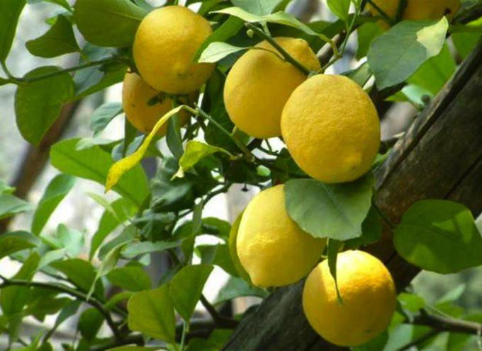 RIVINCITA dei limoni siciliani: A Palermo ora costano 1 € al Kg