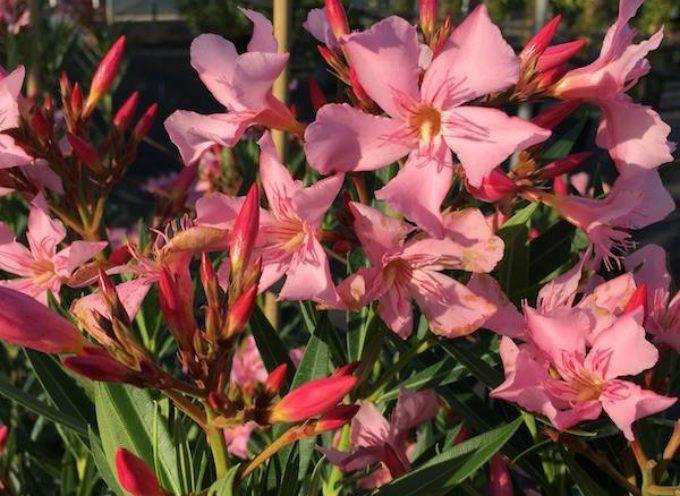 I fiori dell'esatate: l'Oleandro ( Nerium oleander )