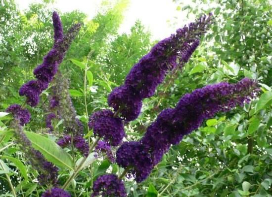 Le piante che vengono da lontano: la Buddleia.