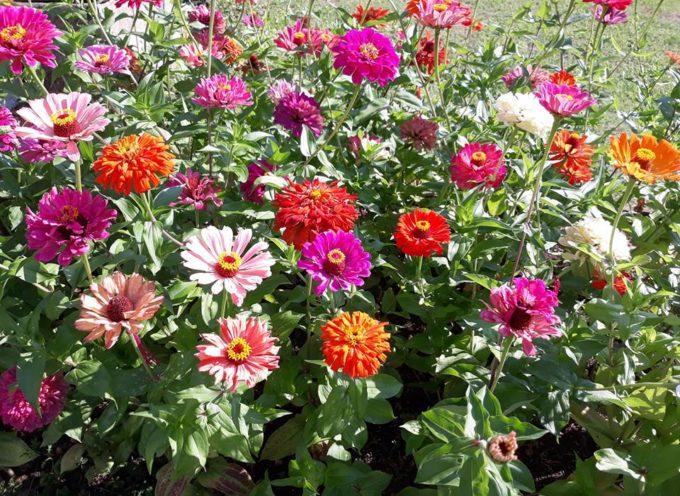 le zinnie erano i fiori di campagna per eccellenza