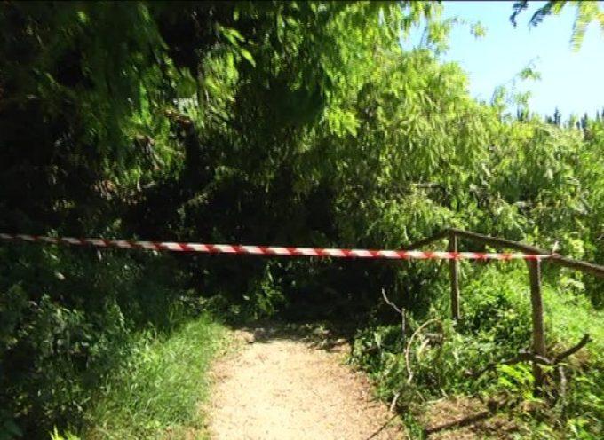 Albero cade sulla pista ciclabile, tragedia sfiorata  A TORRE DEL LAGO