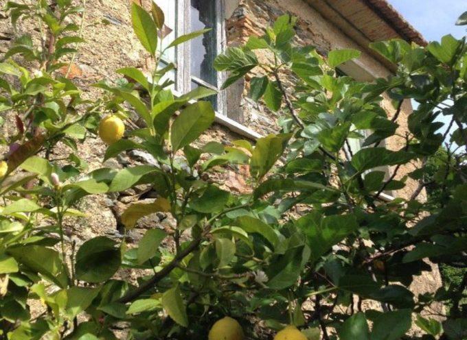 una volta, in molte case di campagna, si coltivava una pianta di limone,
