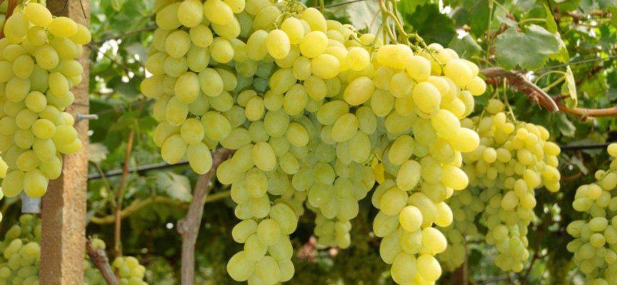 la vite per uva da tavola