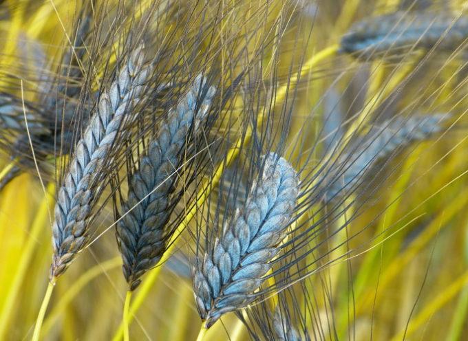 Farro, cereale senza tempo, Quello Igp della Garfagnana rimane un'eccellenza del made in Italy