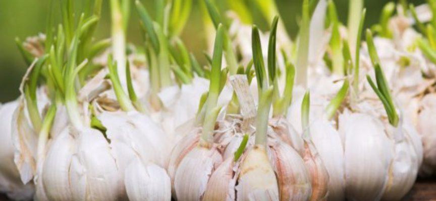 Come coltivare l'aglio: la pianta, la tecnica colturale e la raccolta