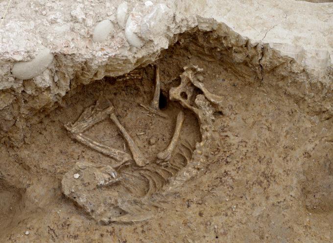 PER DUE MILLENNI SOTTO UN EDIFICIO:  RINVENUTO UN CANE NELL'IMPIANTO TERMALE DEL SITO ARCHEOLOGICO DOMVS AEMILIA