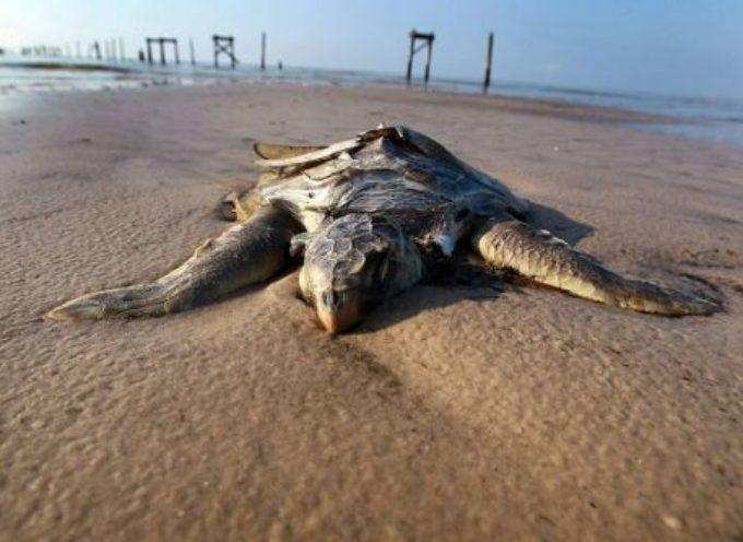 Centinaia di tartarughe trovate morte nel Pacifico.