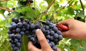 vendemmia-vino-uva-640x381