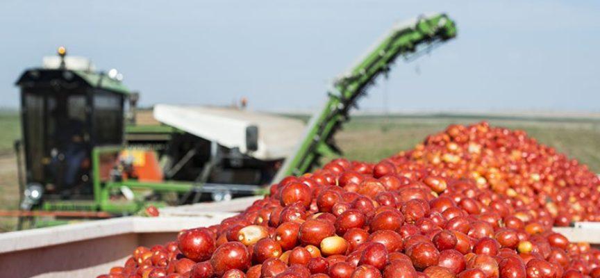 Pomodoro da industria: Petti alza il prezzo del prodotto in campo