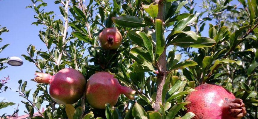 I frutti del melograno stanno maturando…