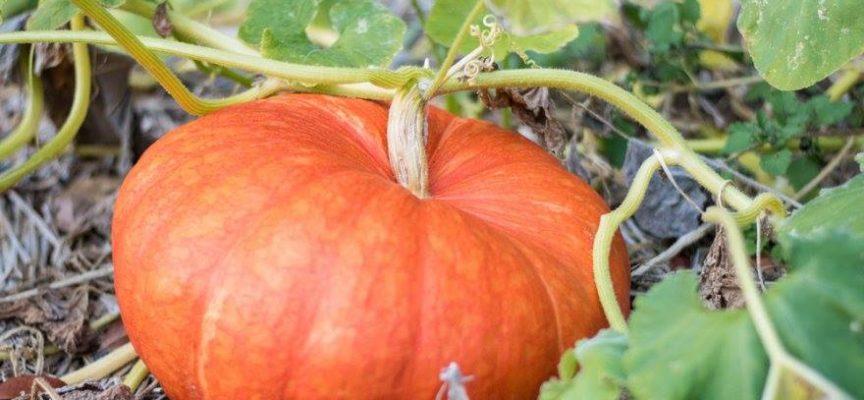 L'autunno è la stagione delle zucche.