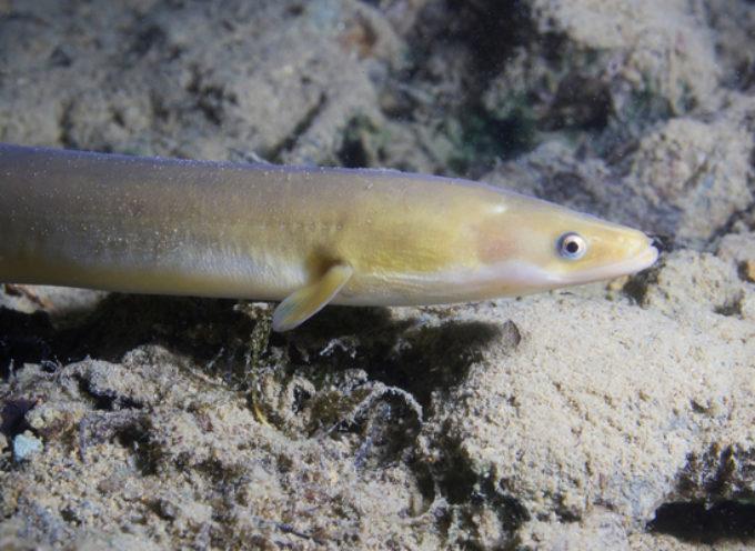 Cocaina nei fiumi: le anguille tra i pesci più a rischio