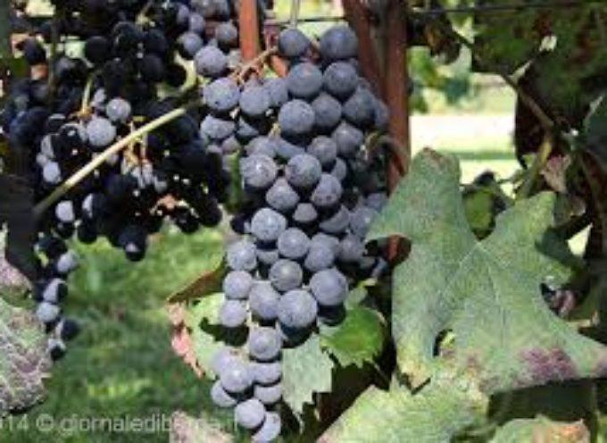 Si vendemmia nelle terre del Pascoli; uve in piena maturazione