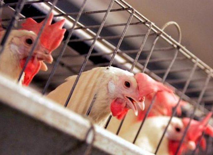 1 milione di firme per abolire l'allevamento in gabbia