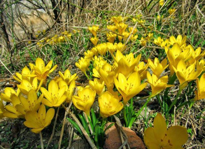 I fiori dell'Autunno: la Stembergia, o Zafferanastro. o Falso Zafferano.