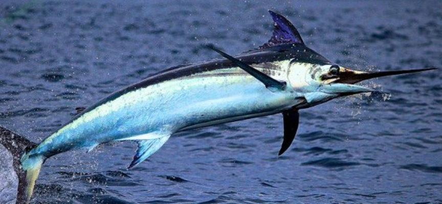 Salmonella nel pesce spada affumicato, Ministero salute segnala richiamo lotti di marlin affumicato per rischio microbiologico