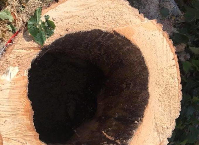 Abbattimento di un albero malato sulle Mura urbane  le cavità interne rilevate dal tomografo lo rendono pericoloso