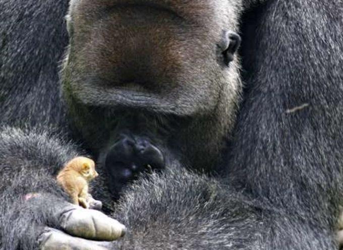 Un gorilla fa un'amicizia insolita e accattivante con un piccolo Lemuridae