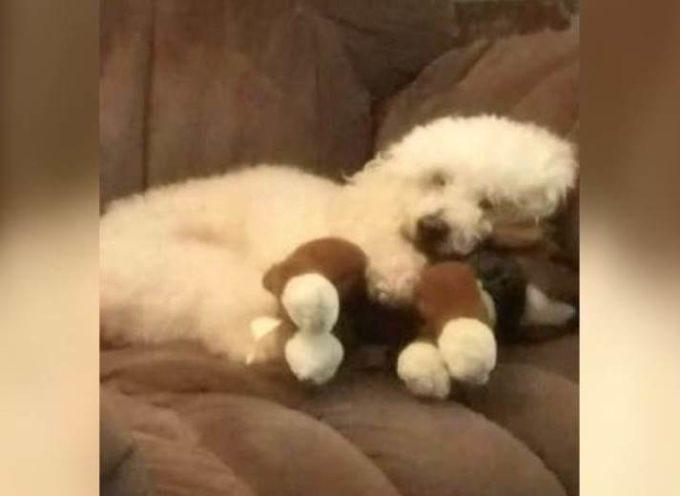 Un cagnolino non può smettere di abbracciare il giocattolo di peluche lasciato da sua sorella morta