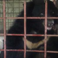 5 orsi tibetani salvati dopo essere stati torturati per 21 anni dalle industrie farmaceutiche