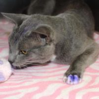 Se hai un gatto con le zampe dipinte di viola, portarlo immediatamente dal veterinario