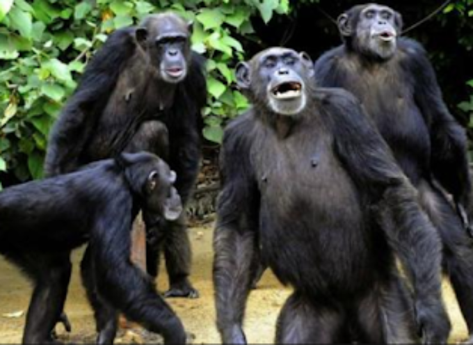 """India, scimmie """"killer"""" lapidano 72enne con 20 mattoni."""