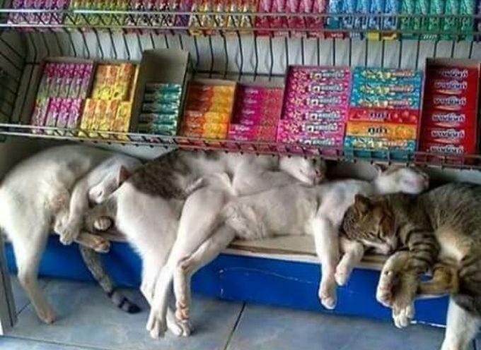 17+ gatti pigri che dormono ovunque, nei luoghi più strani