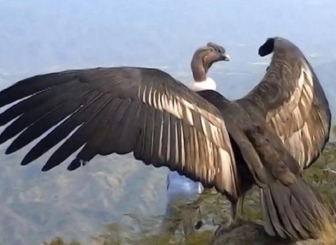 Un condor vola verso la libertà per la prima volta dopo aver ricevuto le cure