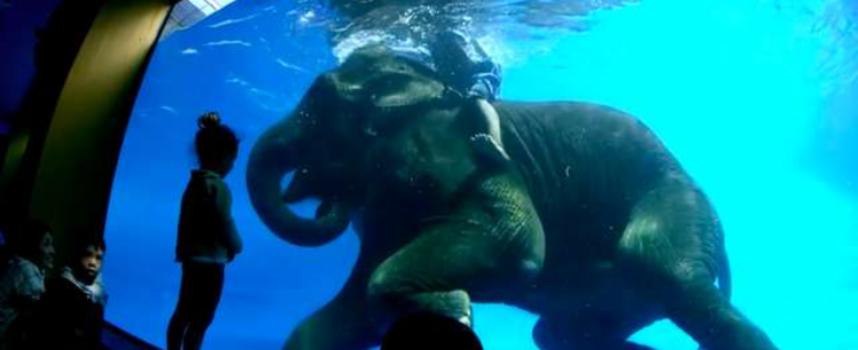 Costringono un elefante a immergersi in una piscina per intrattenere i turisti in Thailandia