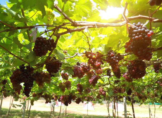 Enolia 2019: i vitigni minori della Versilia, un patrimonio da salvaguardare