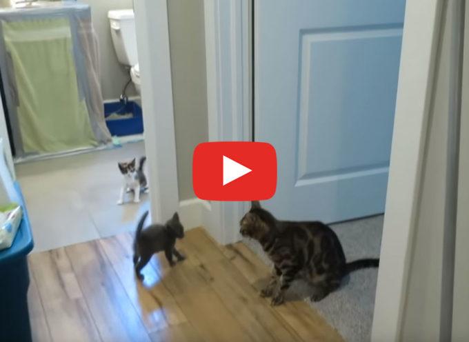 Gatti del Bengala incontrano i gattini domestici