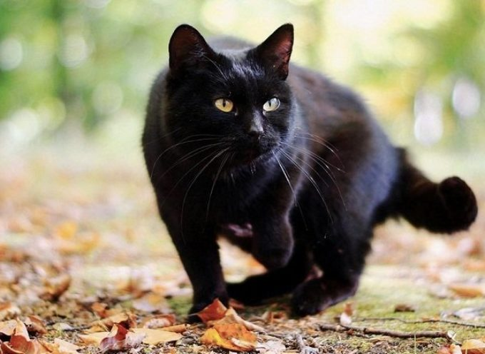 Accadde Oggi, 17 novembre: il giorno dell'anno dedicato al gatto nero