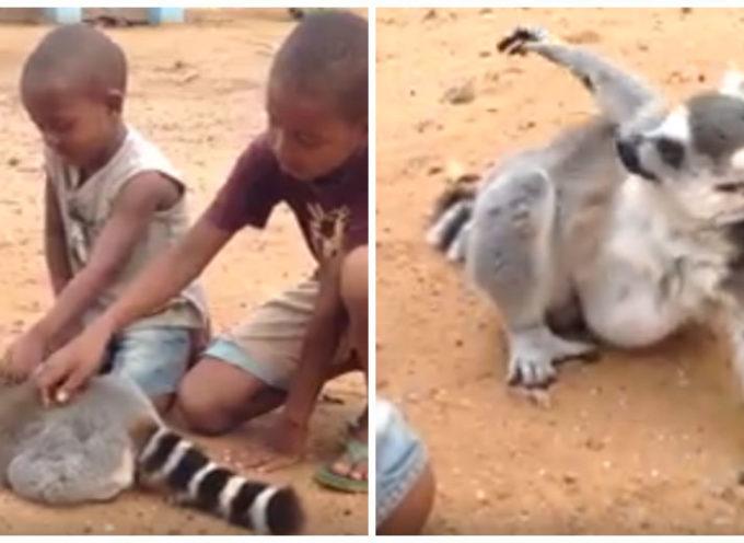 Un momento divertente in cui un lemure chiede ai bambini di non smettere di grattargli la schiena