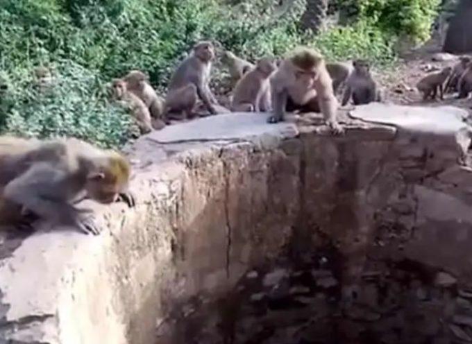Scimmie astute salvano la vita di un leopardo che sta per affogare in un enorme pozzo