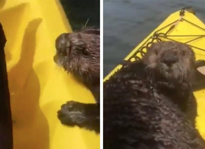 Una lontra terrorizza una giovane donna salendo senza permesso nel suo kayak