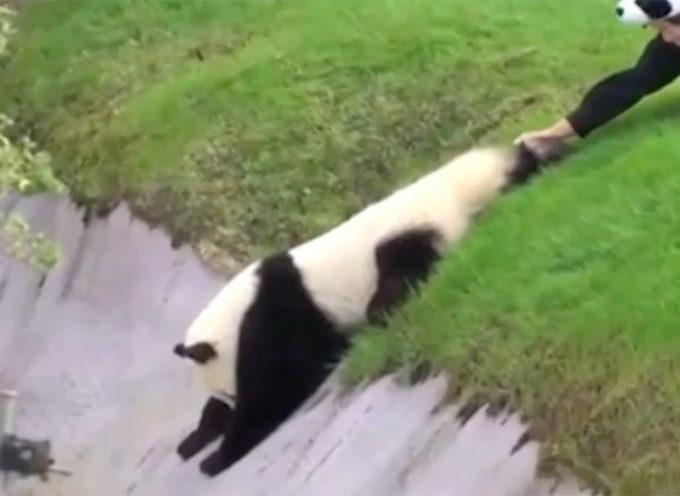 Un panda adorabile e testardo si mette nei guai per aver disobbedito ai suoi custodi