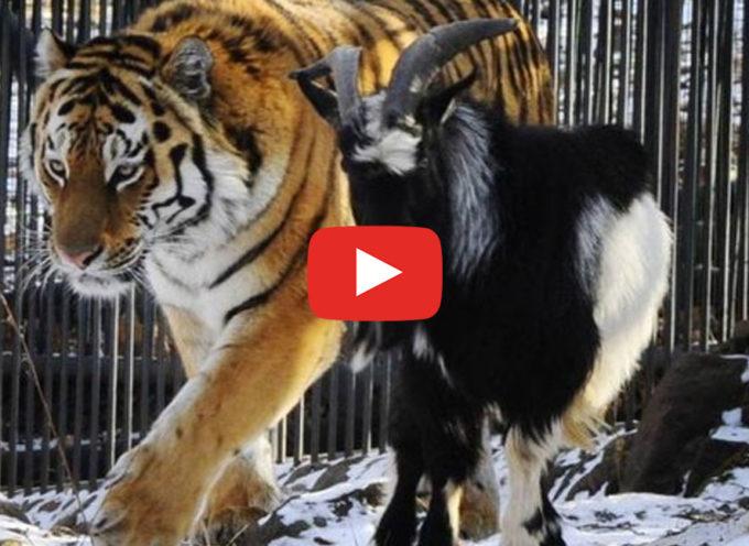 """E' ora di mangiarla. Amur, la tigre: """"No è ora di fare amicizia"""""""