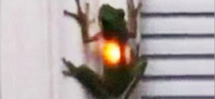 Una rana ingoia una lucciola e diventa una lanterna ambulante